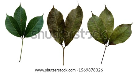 Collection of rubber leaves  With fresh rubber leaves And the Rubber Leaves have spots .Rubber leaves isolated on a white background clipping path includes. #1569878326