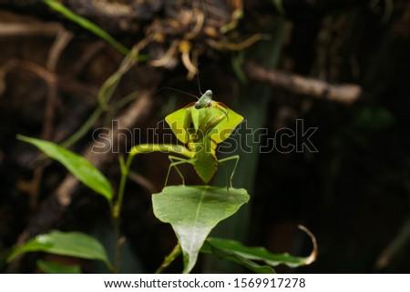 South American leaf mantis nymph (Choeradodis rhomboidea) on green ficus leaf. Shield mantis, cobra mantis, hooded mantis #1569917278