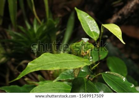 South American leaf mantis nymph (Choeradodis rhomboidea) on green ficus leaf. Shield mantis, cobra mantis, hooded mantis #1569917509