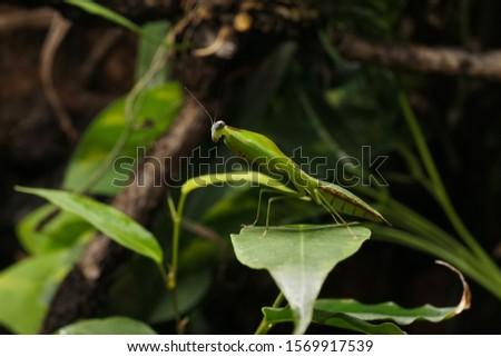 South American leaf mantis nymph (Choeradodis rhomboidea) on green ficus leaf. Shield mantis, cobra mantis, hooded mantis #1569917539