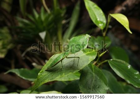 South American leaf mantis nymph (Choeradodis rhomboidea) on green ficus leaf. Shield mantis, cobra mantis, hooded mantis #1569917560
