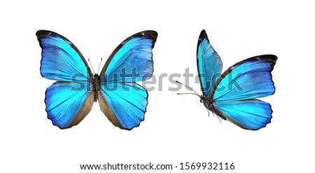 Set two beautiful blue tropical butterflies with wings spread and in flight isolated on white background, close-up macro. #1569932116