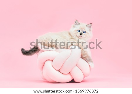 Ragdoll cat, small cute kitten portrait on funny knott pillow on pink background. Pedigree pet Royalty-Free Stock Photo #1569976372