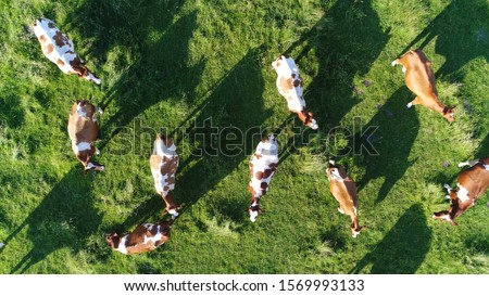 Aerial top-down photo of meadow with red Holstein Friesians cattle grazing showing their long shadows from sundown in grass field these cows are usually used for dairy production #1569993133