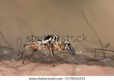 jumping Spider ,Arthropods, Spider. #1570016314