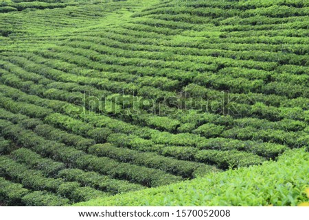 The fields of lush green tea plantation  #1570052008