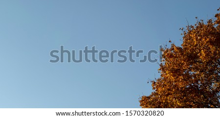 Blue sky background with orange leaves tree in sunny autumn day. Fall season. Beautiful autumn nature. Space for text. Copy space. Negative space. #1570320820