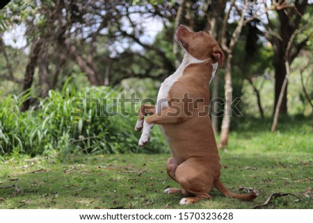 american Pitbull terrier obeying the command to greet