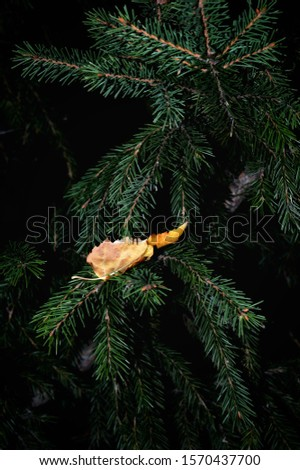 Beautiful autumn silver birch (Betula pendula) leaf on spruce tree branches background in evening time, selective focus #1570437700