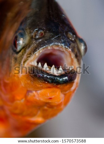 Close up of Red-bellied piranha, Pygocentrus nattereri, Cuxiu Muni, Amazon River, Brazil