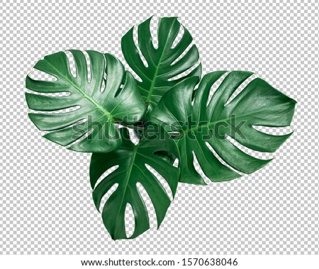 Green Monstera leaf on isolated transparency background.Tropical leaves object top view.clipping path