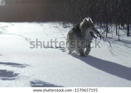 Beautiful pretty pet in a park in a forest in winter after a snowfall. Snowy landscape with a small dog. Christmas and New Year picture for design