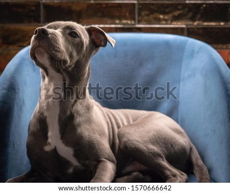 A photo of a grey blue eyed Staffordshire terrior, pictured with a reflective gold background.