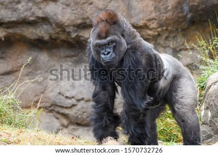 Male Silverback Western Lowland gorilla (Gorilla gorilla gorilla) standing #1570732726