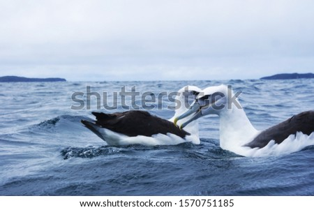 Couple of albatross in the sea #1570751185