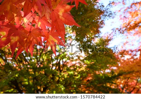 Photosynthetic red maple in Japan #1570784422