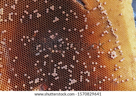 Closeup of bees on honeycomb in apiary - selective focus, copy space. Close up picture of beekeeper harvesting fresh honey from honeycomb. Some chambers are closed, others open. Amazing background.