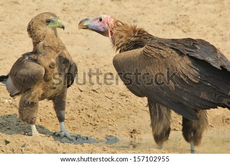 Lappet-faced Vulture - Wild Bird Background from Africa - Death Reaper and Symbol of Nature's Cleaner.  Arrogance is a sharp beak. #157102955
