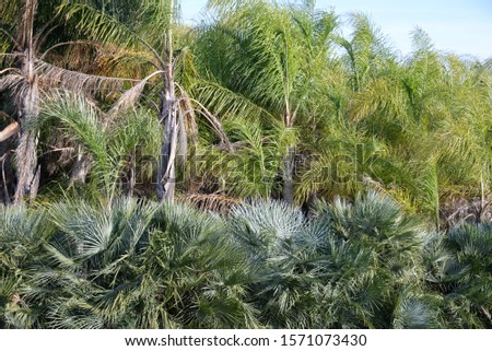 Palm trees, palm leaves in the province of Valencia, Spain #1571073430