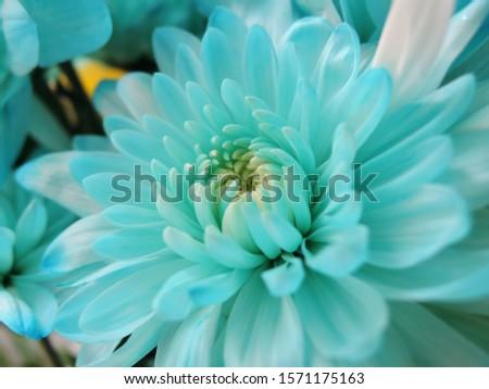 Beautiful fresh blue chrysanthemum flower close-up. Flower background #1571175163