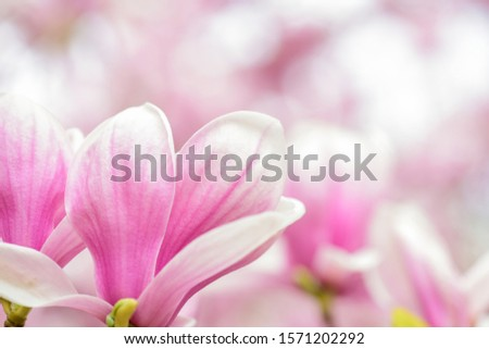 Botanical garden concept. Branch of magnolia. Magnolia flowers. Magnolia flowers background close up. Tender bloom. Floral backdrop. Aroma and fragrance. Spring season. Botany and gardening. #1571202292