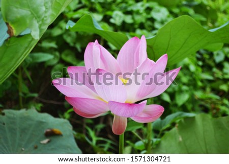 Pink lotus blossom Natural beauty background #1571304721
