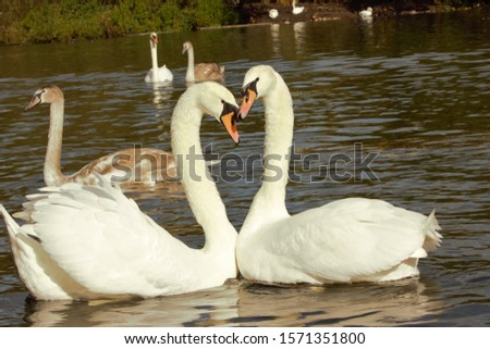 A pair of Mute Swans (Cygnus Olor) forming a heart shape during a pairing dance. #1571351800