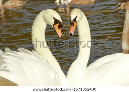 Close up of a pair of Mute Swans (Cygnus Olor) forming a heart shape during a pairing dance. #1571352400