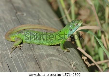 Green lizard (Lacerta bilineata) sunning itself on a timber #157142300