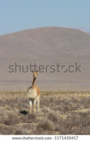 Vicuña in the peruvian Altiplano on the way to Chivay #1571430457