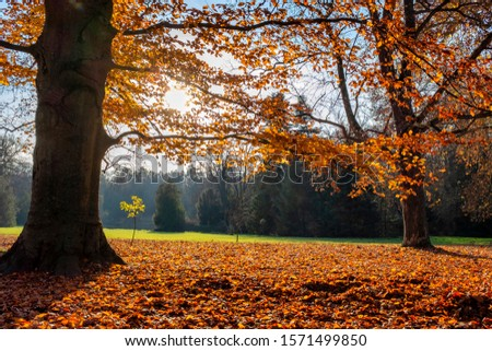 Beech tree with vivid red foliage and lots of fallen leaves on the ground in back light in a beautiful autumn park #1571499850