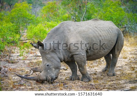 wild white rhino in kruger national park in mpumalanga in south africa #1571631640