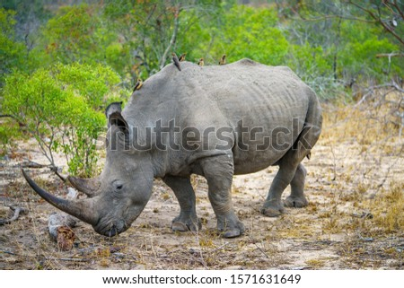 wild white rhino in kruger national park in mpumalanga in south africa #1571631649