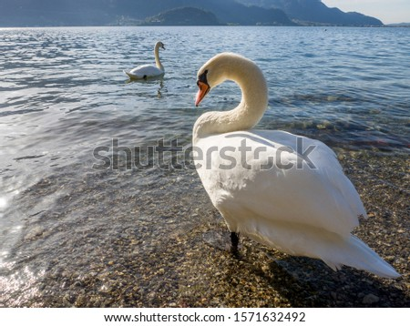 Swan portrait. Mute swan gliding Lake  in sunrise light. Amazing scene Beautiful swan on italian alps lake. Cold toned, fairy tale, swan lake, beauty.  #1571632492