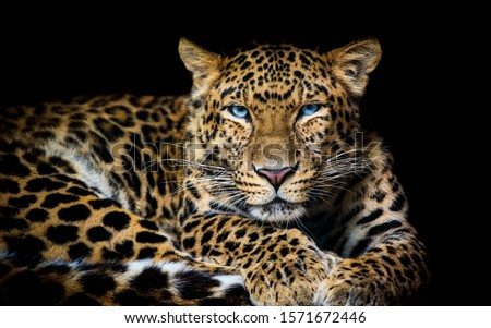 North China leopard Panthera pardus japonensis black backround Zoo #1571672446
