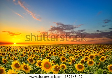 field of blooming sunflowers on a background sunset #157168427