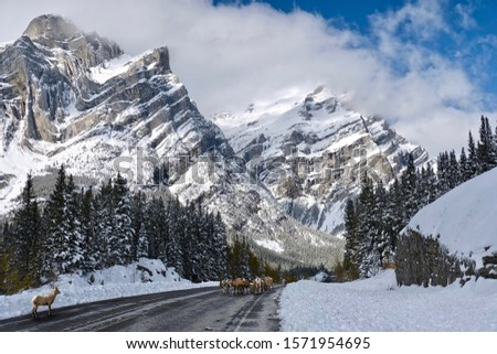 Wildlife on the mountain road in Canadian Rockies. Herd of bighorn sheep liсking salt on Kananaskis highway with beautiful view of Mount Galatea covered with fresh snow. Canmore. Alberta. Canada #1571954695