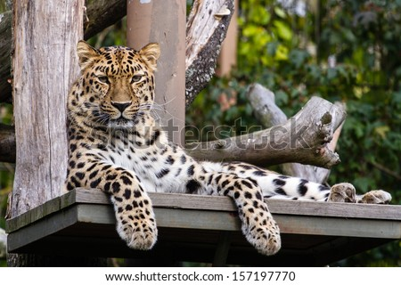 Amur leopard lying on the ledge and looking towards the camera #157197770