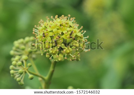 Flowers of a greenish yellow, globular terminal umbels, many rays, pubescent-whitish; calyx with 5 small teeth; 5 petals lanceolate, pubescent, reflective; persistent style; globular berry, black,  #1572146032