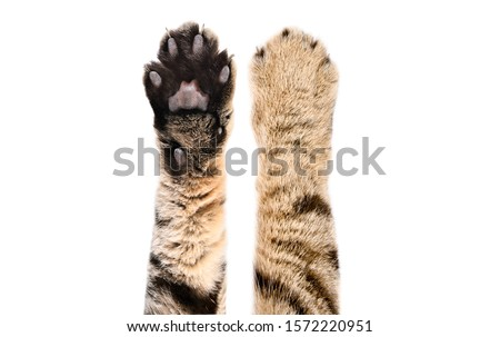 Paws of a cat Scottish Straight, isolated on white background, closeup Royalty-Free Stock Photo #1572220951