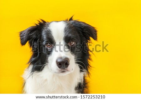 Funny studio portrait of cute smilling puppy dog border collie isolated on yellow background. New lovely member of family little dog gazing and waiting for reward. Pet care and animals concept. #1572253210