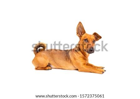 Small brown dog sitting on the floor isolated on white background. Mixed breed of parson jack russell terrier, chihuahua and german shepherd. Age 2 years.Funny dogs concept. #1572375061