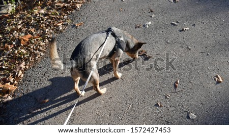 A dog walking on a trail on a fall day in November. Picture taken in St. Peters, Missouri. Leaves are on the ground.