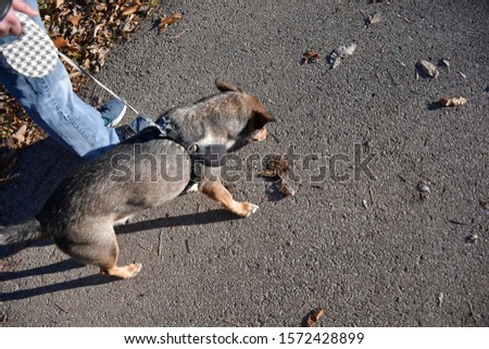 A dog walking on a trail on a fall day in November. Picture taken in St. Peters, Missouri. Human legs and shoes in shot. Leaves on the ground.