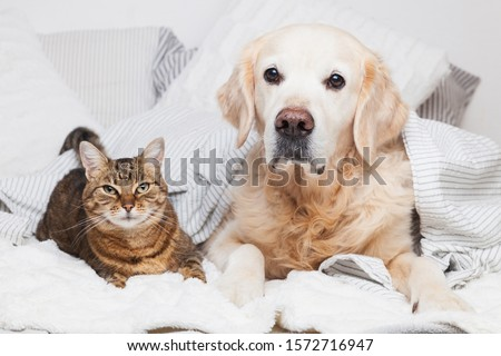 Golden retriever dog and mixed breed tabby cat under cozy plaid. Animals warms under gray and white blanket in cold winter weather. Friendship of pets. Pets care concept. #1572716947