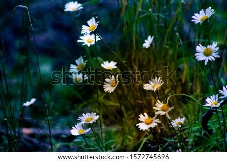 daisies on a dark background #1572745696