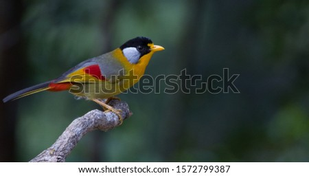 Beatiful Finches Bird is finding its food while sitting on the branch at Fraser's Hill,Pahang #1572799387