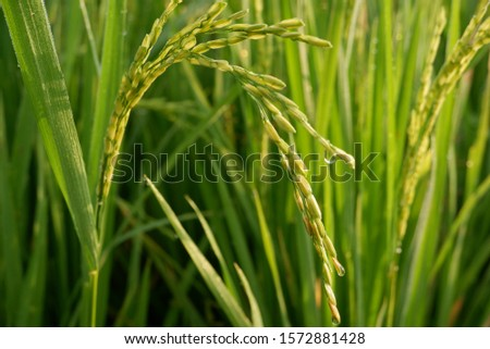 the grains of rice began to duck in the rice fields #1572881428