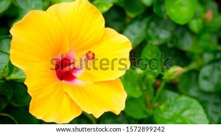 Yellow hibiscus flowers. Hibiscus flowers.                             #1572899242