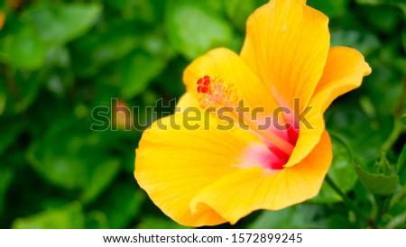 Yellow hibiscus flowers. Hibiscus flowers.                             #1572899245
